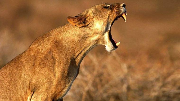 Lioness-Roar-Images